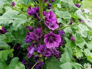 Ebegümeci Çiçeği