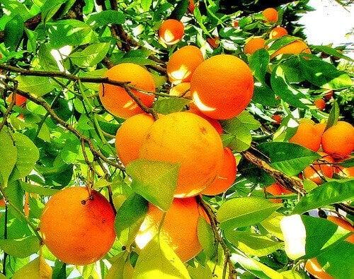 portakallar-3