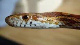 Ahmet Maranki'den yılan gömleğinin faydaları