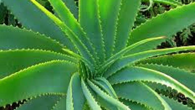 Aloe Vera Bitkisi ve Faydaları Nelerdir