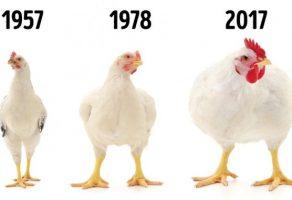 Broyler tavukları çok daha büyük hale geldi