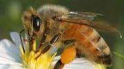 Arı Poleni Nedir Faydaları Kullanımı