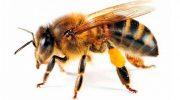 Arı Sokmasına Ne Yapılır? Eşek Arısı Sokması İçin Evde Yapılabilecekler