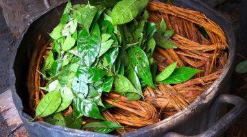 Ayahuasca Çayı Faydaları Nelerdir, Fiyatı, Tarifi, Kullanımı
