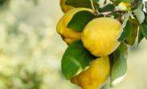 Ayva Yaprağı: Soğuk Algınlığını Tedavi Eder