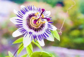 Çarkıfelek çiçeği: Kan basıncını düşürebilir