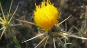 Diken bitkisi