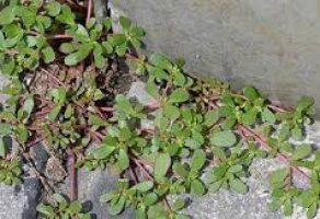 Bahçenizde Görünce Yabani Ot Sanıp Kopardığınız Bu Bitki Bakın Nelere İyi Geliyor