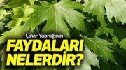 Çınar Yaprağının Faydaları Nelerdir ?