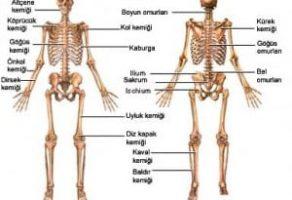 Kemiklerin Genel Yapısı