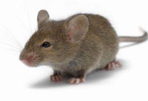 Leptospirosis (Leptospiroz) Nedir ? & Leptospiroz Tedavisi & Weil Hastalığı