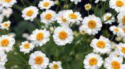 Papatya (Yoğurt çiçeği): Yüksek Antioksidan Kaynağıdır