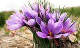 Safran Bitkisi ve Faydaları