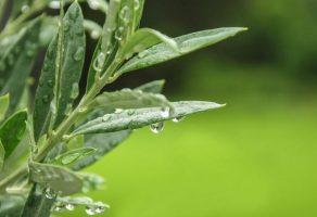 Zeytin yaprağı: Beyin fonksiyonunu geliştirir